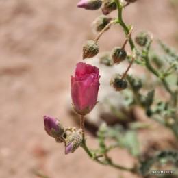 L. heterophylla_dr (6)