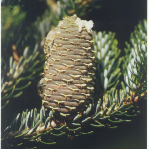 Abies concolor cono