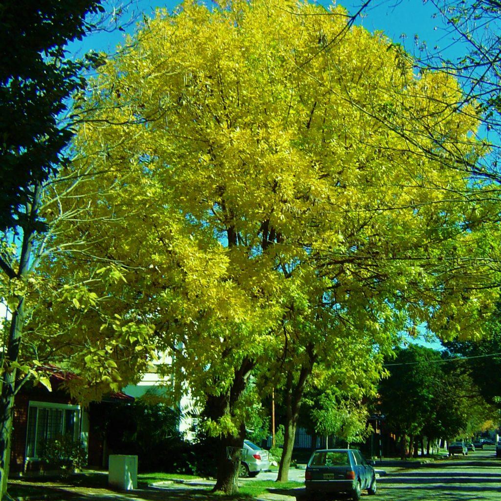 Fraxinus americana maipue for Fresno caracteristicas