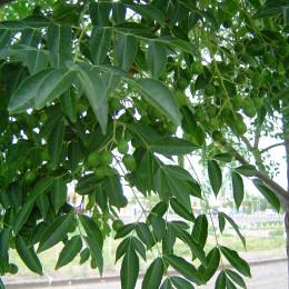 Melia azederach fruto y hoja